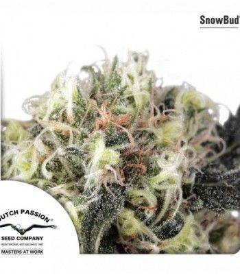 Snow Bud (x3) - Dutch Passion - 1