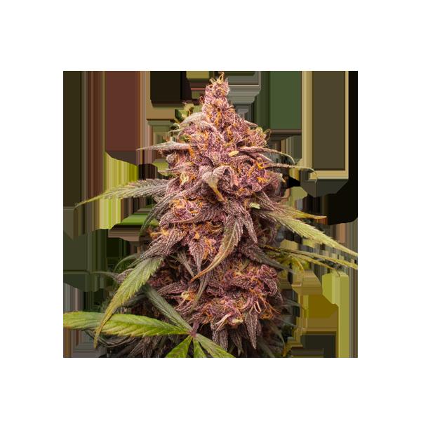 Purple Punch (x3) Auto - Stockers Seeds - 1