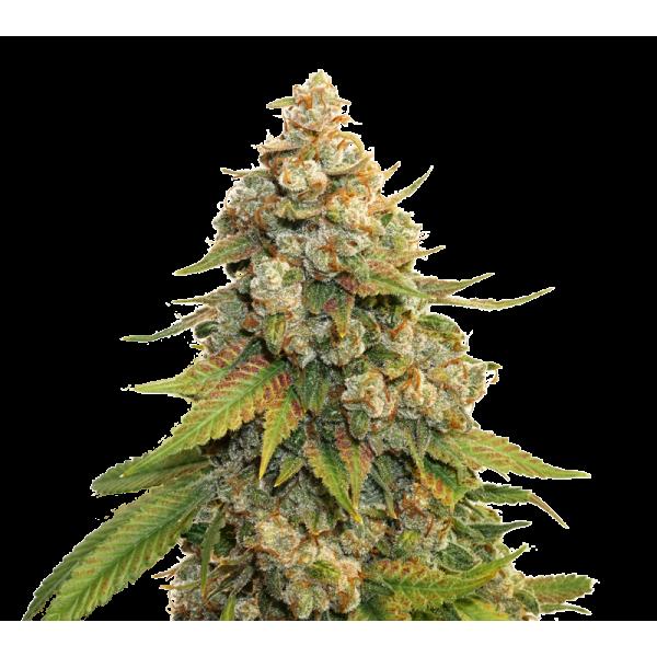Golden Lemon Haze (x3) - Stockers Seeds - 1