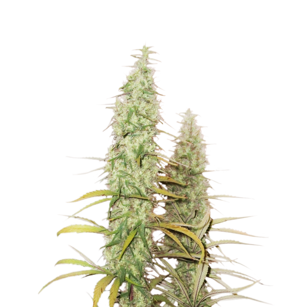 Santa Marta Haze (x3) - Stockers Seeds - 1