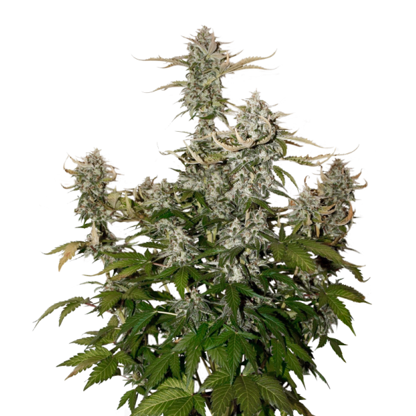 Candy Dawg (x3) Auto - Stockers Seeds - 1