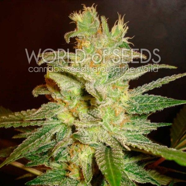 Northern Light X Big Bud (x3) Fem - World Of Seeds - 1