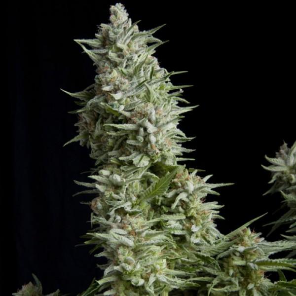 Alpujarreña (x3+1) Fem - Pyramid Seed - 1