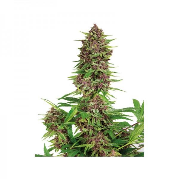 Buddha Purple Kush (x3) Fem - Buddha Seeds - 1