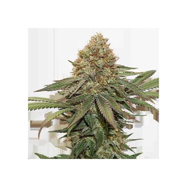 Fruit Cake (x3) Auto - Stockers Seeds - 1