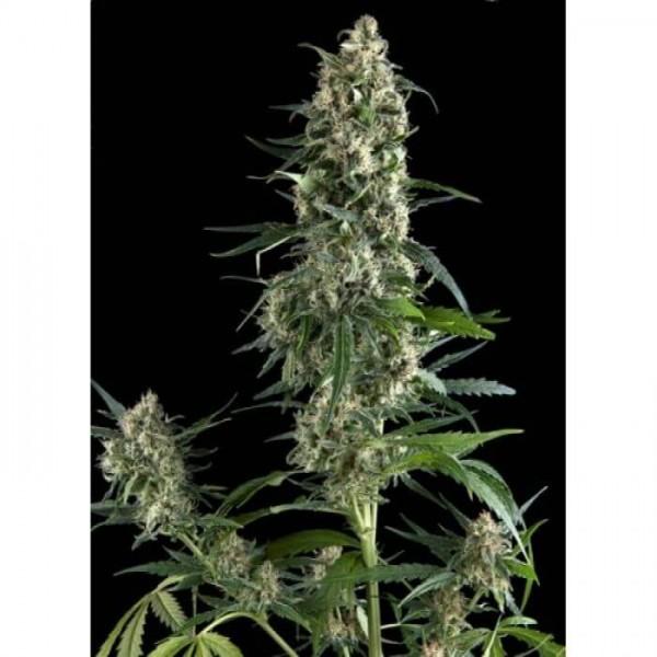 Amnesia Gold (x 3) - Pyramid Seed - 1