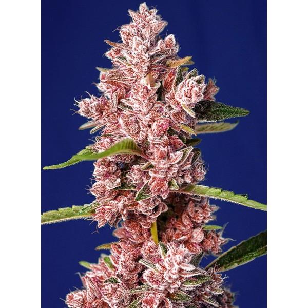 Tropicana Poison F1 (x3+1) - Sweet Seeds - 1