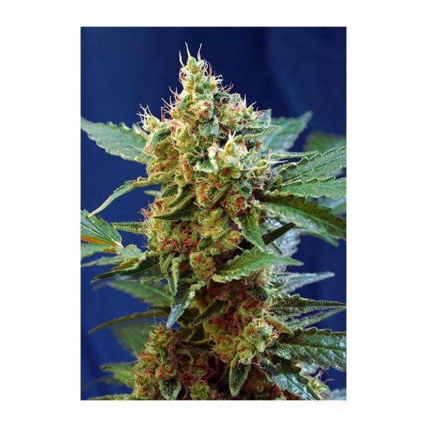 Auto Cream Mandarine XL (X3+1) - Sweet Seeds - 1