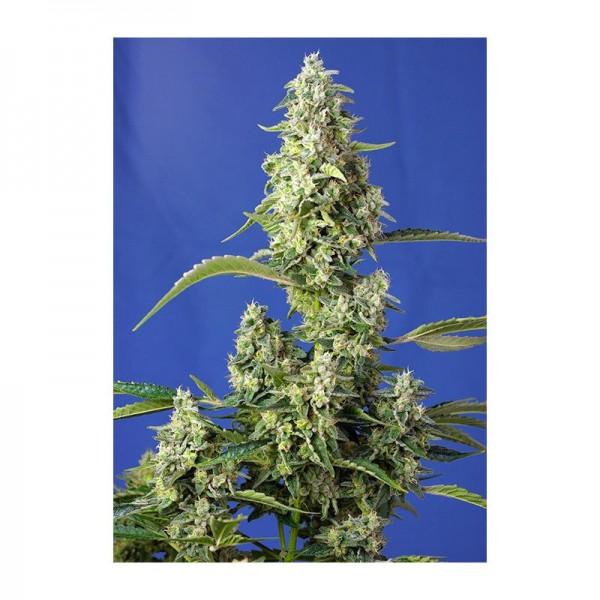 Gorilla Girl XXL Auto (X3+1) - Sweet Seeds - 1