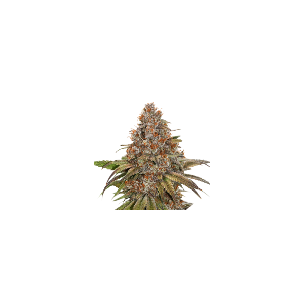 BlackBerry Gum Auto (x3) - Seed Stokers - 1
