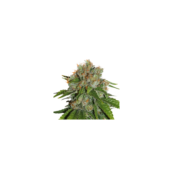 Amnesia Auto (x3) - Seed Stockers - 1