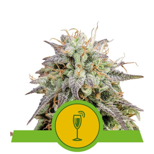 Mimosa Auto (x3) - Royal Queen Seeds - 1