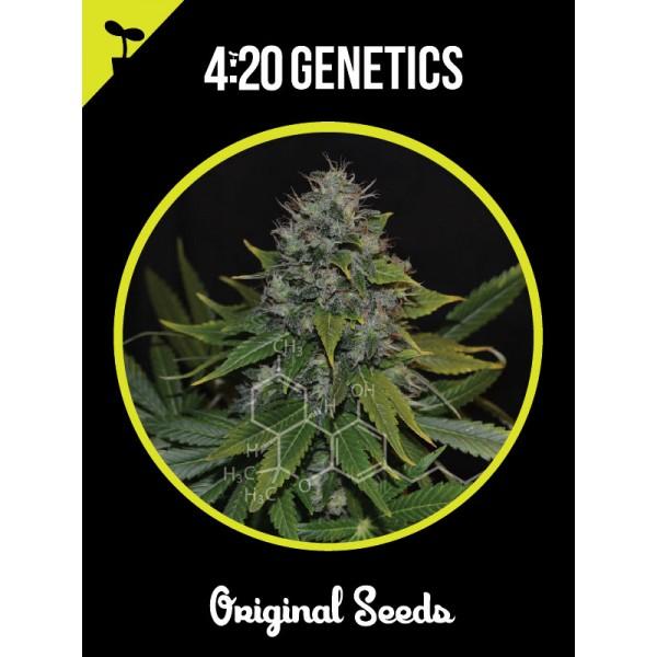 Og Kush (x3) - 420 Genetics - 1