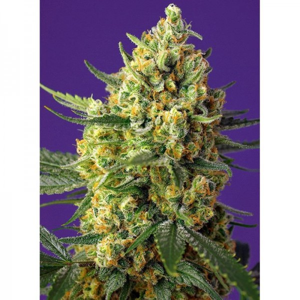 Auto Crystal Candy xl (x3+1) - Sweet Seeds - 1